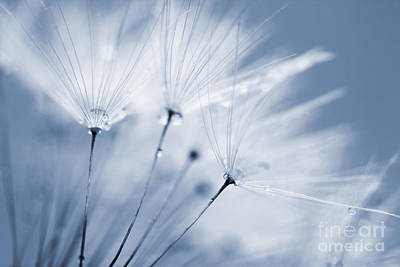 Dusty Blue Dandelion Clock And Water Droplets Poster by Natalie Kinnear