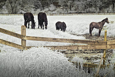 Dutch Friesian Horses Behind A Wooden Fence In A Pasture Poster by Randall Nyhof