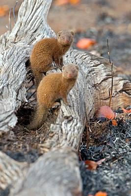 Dwarf Mongoose Poster