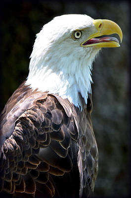 Poster featuring the photograph Eagle 2 by Amanda Vouglas