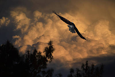 Eagle Flying Into The Storm Poster