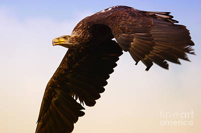 Poster featuring the photograph Eagle In Flight by Nick  Biemans
