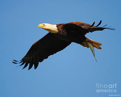 Eagle In Flight With Fish II Poster