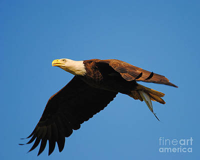 Eagle In Flight With Fish Poster