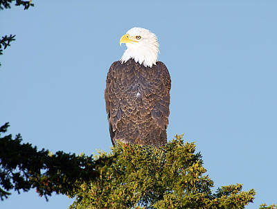 Eagle On A Branch Poster