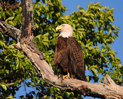 Eagle On Roosting Branch II Poster