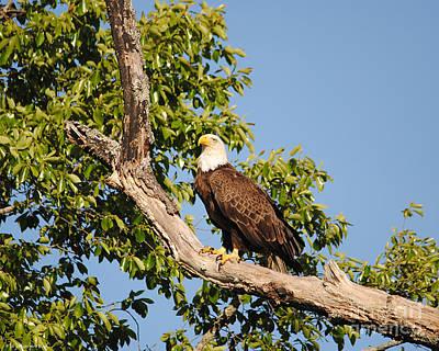 Eagle On Roosting Branch Poster