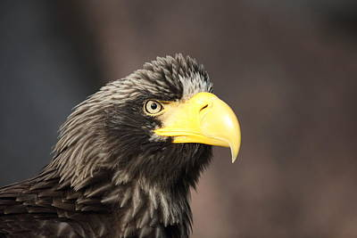 Eagle Portrait Poster by Alex Sukonkin