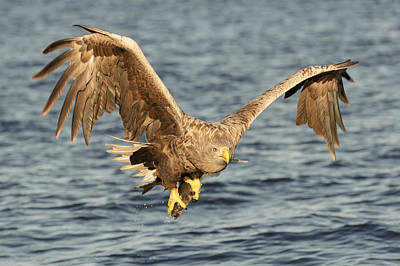 Eagle With Catch Poster by Andy Astbury