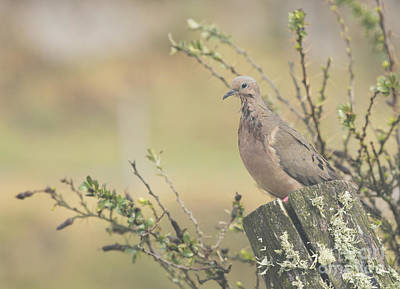 Eared Dove Poster