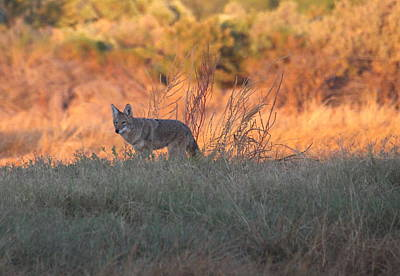 Early Morning Coyote Poster by Ruth Jolly