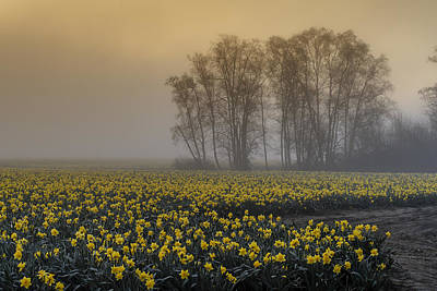 Early Morning Daffodil Fog Poster