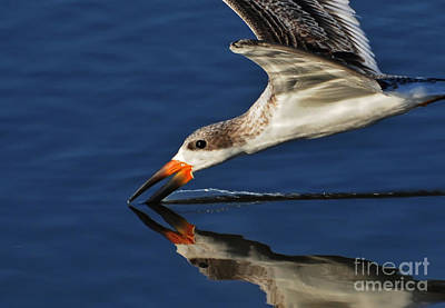 Poster featuring the photograph Early Morning Skimmer by Kathy Baccari