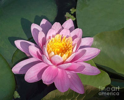 Early Morning Water Lily Poster by Arlene Carmel