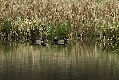 Early Morning Wood Ducks Poster