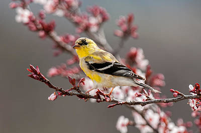 Early Spring Gold Finch Poster by Lara Ellis