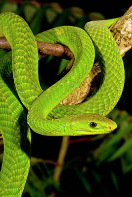 East African Green Mamba, Dendroaspis Poster by David Northcott