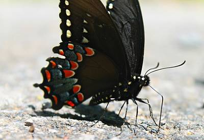 Poster featuring the photograph Eastern Black Swallowtail by Candice Trimble