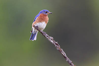 Poster featuring the photograph Eastern Bluebird by Gary Hall