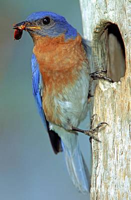 Eastern Bluebird Poster by Millard H Sharp