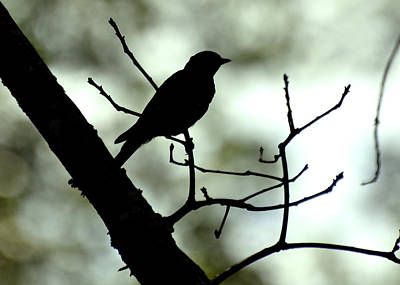 Eastern Bluebird Silhouette - 1095c1560a Poster by Paul Lyndon Phillips