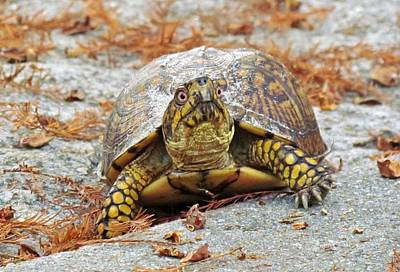 Poster featuring the photograph Eastern Box Turtle by Cynthia Guinn