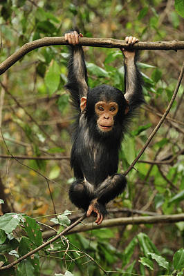 Eastern Chimpanzee Baby Hanging Poster by Thomas Marent
