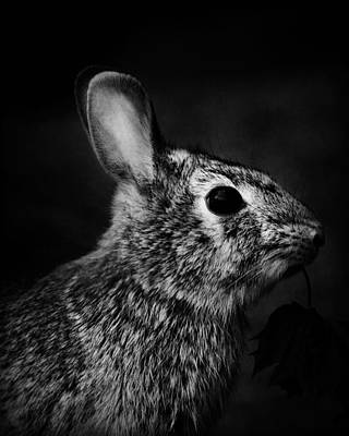 Eastern Cottontail Rabbit Portrait Poster by Rebecca Sherman