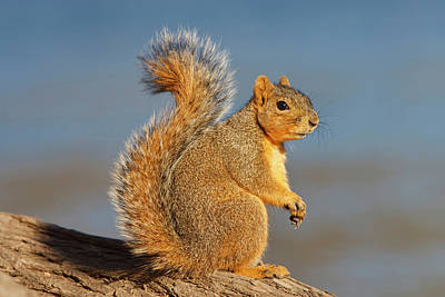 Eastern Fox Squirrel (sciurus Niger Poster by Larry Ditto