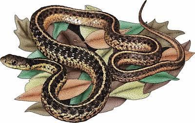 Eastern Garter Snake Poster by Roger Hall
