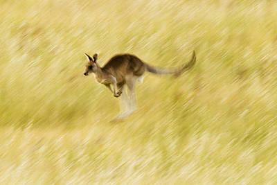 Eastern Grey Kangaroo Hopping Poster by Sebastian Kennerknecht