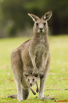 Eastern Grey Kangaroo With Joey Peering Poster