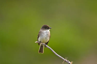 Eastern Phoebe - 4877 Poster