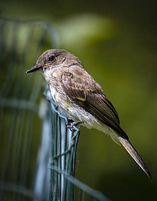 Eastern Phoebe Poster by Andrew Lawlor