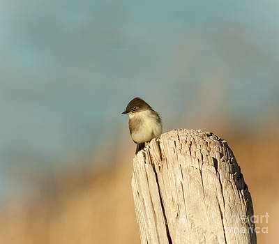 Eastern Phoebe Poster by Robert Frederick