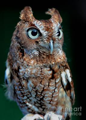 Eastern Screech-owl Poster