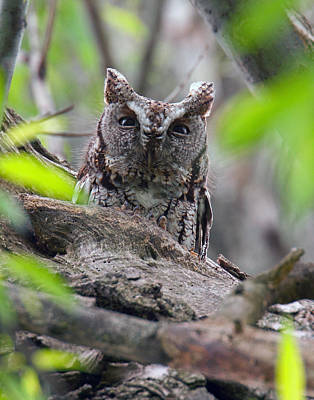 Eastern Screech Owl II Poster by Timothy McIntyre
