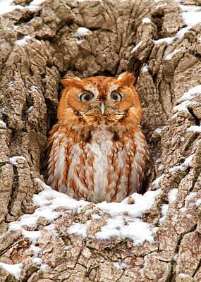 Eastern Screech Owl Poster by Joshua Clark