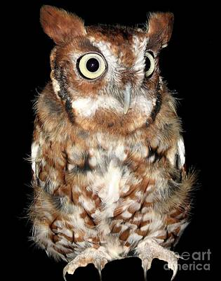 Eastern Screech Owl Poster by Rose Santuci-Sofranko
