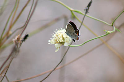 Eastern Tailed Blue Butterfly On Pincushion Flower Poster by Karen Adams