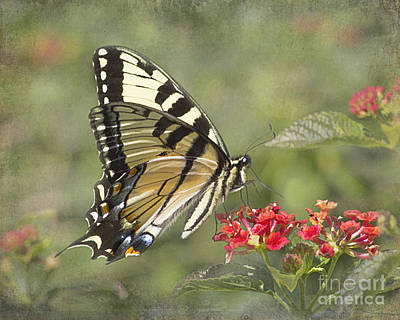 Eastern Tiger Swallowtail Beauty Poster by TN Fairey