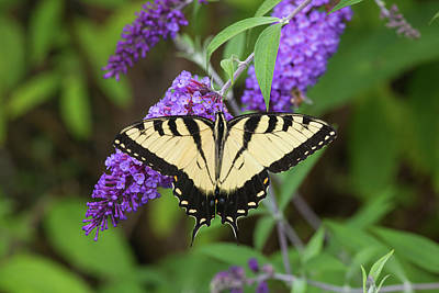 Eastern Tiger Swallowtail Butterfly Poster by Richard and Susan Day