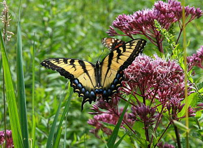 Eastern Tiger Swallowtail On Joe Pye Weed Poster