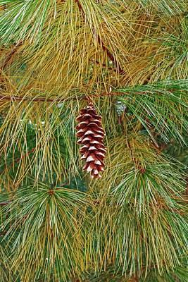 Eastern White Pine (pinus Strobus) Poster