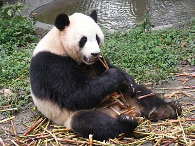 Eating Panda Poster by Noa Yerushalmi