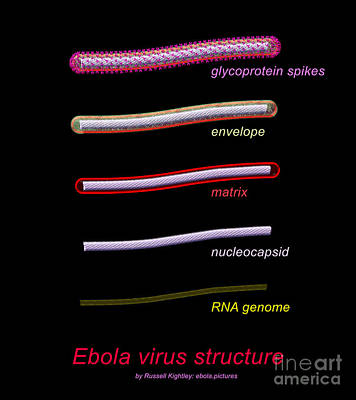 Ebola Virus Structure #1 Annotated Poster by Russell Kightley