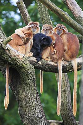 Ebony Leaf Monkey Family Poster by Duncan Usher