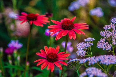 Echinacea And Yarrow Poster