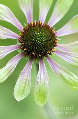 Echinacea Green Envy Flower Poster