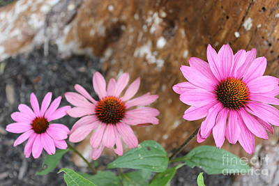Poster featuring the photograph Echinacea by Jesslyn Fraser